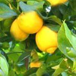 nota-olfattiva-Albero di Limone