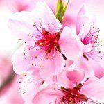 nota-olfattiva-Fiore di Ciliegio
