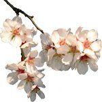 nota-olfattiva-Fiore di Mandorlo