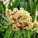 nota-olfattiva-Fiore di Mango