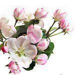 nota-olfattiva-Fiore di Melo