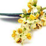 nota-olfattiva-Fiore di Olivo