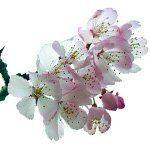 nota-olfattiva-Fiore di Pero