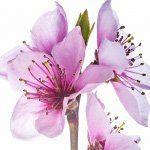 nota-olfattiva-Fiore di Pesco