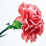 nota-olfattiva-Garofano