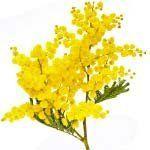 nota-olfattiva-Mimosa
