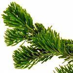 nota-olfattiva-Abete balsamico (Abies balsamea)