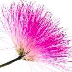 nota-olfattiva-Fiore dell'albero della Seta