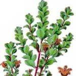 nota-olfattiva-Bucco o Agathosma