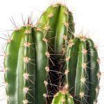 nota-olfattiva-Cactus