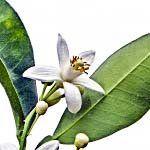 nota-olfattiva-Fiore d'Arancio