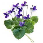 nota-olfattiva-Foglia di Violetta