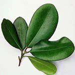 nota-olfattiva-Olio Essenziale di Bay Rum (Pimenta racemosa)
