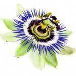nota-olfattiva-Passiflora