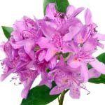 nota-olfattiva-Rododendro