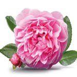 nota-olfattiva-Rosa Taif