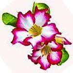 nota-olfattiva-Rosa del Deserto