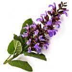 nota-olfattiva-Salvia Sclarea