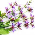 nota-olfattiva-Salvia