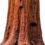 nota-olfattiva-Sequoia