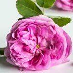 nota-olfattiva-Rosa di Grasse