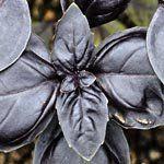 nota-olfattiva-Basilico nero