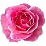 nota-olfattiva-Rosa Bulgara