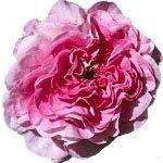 nota-olfattiva-Rosa dal Marocco