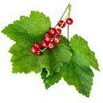 nota-olfattiva-Foglia di Ribes Rosso