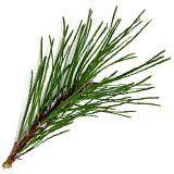 nota-olfattiva-Aghi di pino