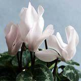 nota-olfattiva-Ciclamino bianco