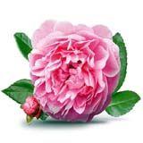 nota-olfattiva-Acqua di Rose