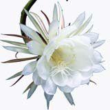 nota-olfattiva-Cereus Notturno