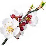 nota-olfattiva-Fiore di Albicocco