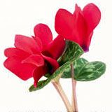nota-olfattiva-Ciclamino Rosso