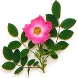 nota-olfattiva-Rosa selvatica