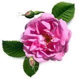 nota-olfattiva-Rosa Turca