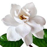 nota-olfattiva-Gardenia