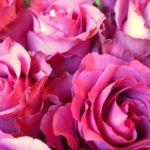 PHI Une Rose de Kandahar - Tauer - Foto 4