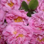 10 Une Rose Vermeille - Tauer - Foto 4