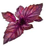 nota-olfattiva-Basilico Rosso