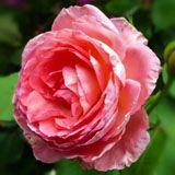 nota-olfattiva-Rosa Liv Tyler