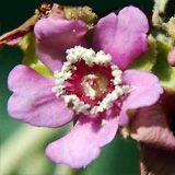 nota-olfattiva-Fiore della Ruizia Cordata