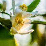 Fleur D'Oranger - L'Artisan Parfumeur - Foto 2