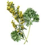 nota-olfattiva-Artemisia