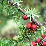 nota-olfattiva-Ginepro Rosso (Juniperus oxycedrus)
